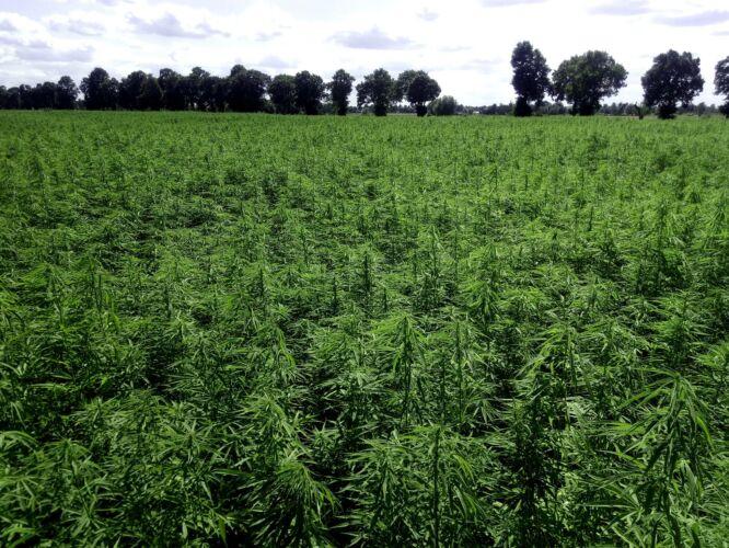 Hempoland - CannabiGold - kenderföld (Cannabis Sativa L.) Lengyelországban